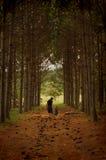Het lopen in de pijnboomgang Stock Foto's