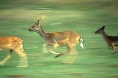 Het lopen deers Royalty-vrije Stock Foto's