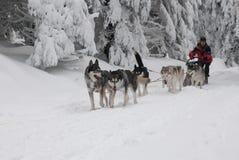 Het lopen dogsled van Siberische huskies royalty-vrije stock afbeeldingen