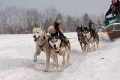 Het lopen dogsled van Siberische huskies stock afbeeldingen