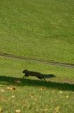 Het lopen eekhoorn Stock Foto's