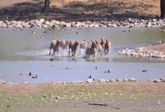Het lopen elanden Royalty-vrije Stock Afbeeldingen