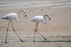 Het lopen flamingoes Stock Foto's