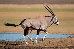 Het lopen gemsbok antilope Stock Afbeeldingen