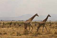 Het lopen giraffas Royalty-vrije Stock Afbeelding