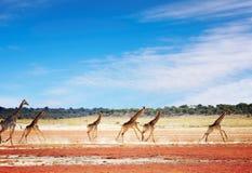 Het lopen giraffen stock afbeeldingen