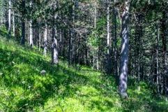Het lopen in het bos in de verse de zomerochtend Royalty-vrije Stock Fotografie