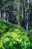 Het lopen in het bos in de verse de zomerochtend Royalty-vrije Stock Afbeelding