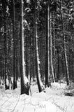 Het lopen in het de winterbos Royalty-vrije Stock Afbeelding