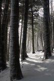 Het lopen in het sneeuw behandelde pijnboombos Stock Foto