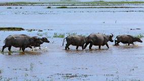 Het lopen Hippos stock fotografie