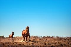 Het lopen kastanjepaard op een gebied Boom op gebied Royalty-vrije Stock Foto's