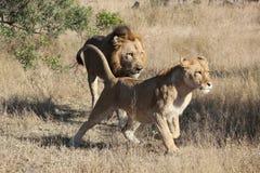 Het lopen Mannelijke en Vrouwelijke Leeuw Stock Afbeelding