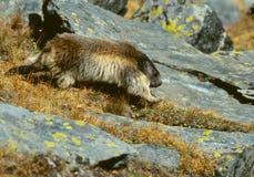 Het lopen marmot stock foto