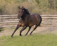 Het lopen paard. Stock Fotografie