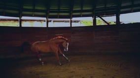 Het lopen paard in de kleine houten arena stock video