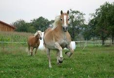 Het lopen paarden Royalty-vrije Stock Fotografie