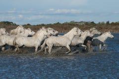 Het lopen paarden Royalty-vrije Stock Afbeeldingen