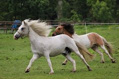 Het lopen paarden Stock Foto's