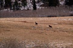 Het lopen paarden Stock Foto