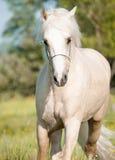 Het lopen palomino Welse poney Stock Fotografie