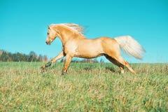 Het lopen palomino Welse poney met het lange manen stellen bij vrijheid stock foto's