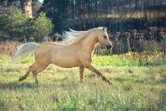 Het lopen palomino Welse poney met het lange manen stellen bij vrijheid stock foto