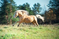 Het lopen palomino Welse poney met het lange manen stellen bij vrijheid royalty-vrije stock fotografie