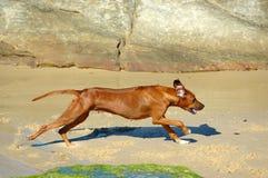 Het lopen Rhodesian Ridgeback Royalty-vrije Stock Afbeelding