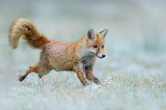 Het lopen Rode Vos, Vulpes vulpes, bij de sneeuwwinter Royalty-vrije Stock Foto's