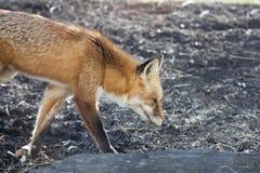 Het lopen rood vosprofiel stock foto's