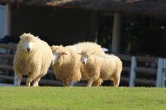 Het lopen sheeps Royalty-vrije Stock Foto's
