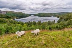 Het lopen Sheeps in het Landschap van Noorwegen met Meer en Bezinning Bewolkte blauwe hemel Stock Foto