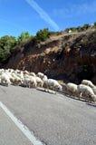 Het lopen sheeps op de weg in Sardinige Stock Afbeeldingen