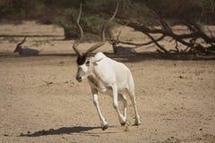Het lopen van de antilope Stock Foto's