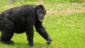 Het lopen van de chimpansee Royalty-vrije Stock Afbeelding