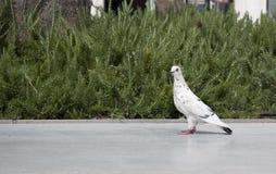 Het lopen van de duif Royalty-vrije Stock Foto's