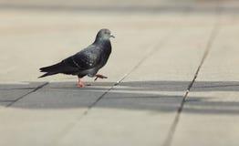 Het lopen van de duif royalty-vrije stock afbeeldingen