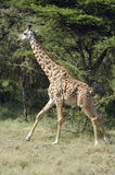 Het lopen van de giraf stock afbeeldingen
