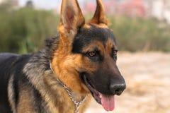 Het lopen van de hond Royalty-vrije Stock Afbeeldingen