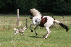 Het lopen van de hond en van het paard stock afbeeldingen