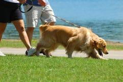 Het lopen van de hond in het park Stock Fotografie