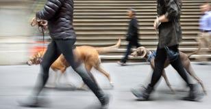 Het lopen van de hond op de straat Stock Foto's