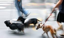 Het lopen van de hond op de straat Stock Fotografie