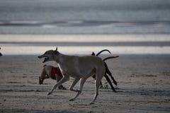 Het lopen van de honden, het hoofdstrand van het Oosten Engeland, het UK Stock Fotografie