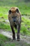 Het lopen van de hyena Stock Afbeeldingen
