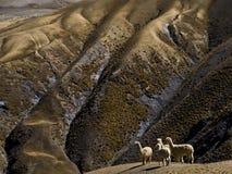 Het lopen van de lama op de maan Stock Foto's