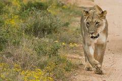 Het lopen van de leeuwin Stock Fotografie