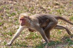 Het Lopen van de Moeder en van de Baby van Macaque van de bonnet royalty-vrije stock foto's