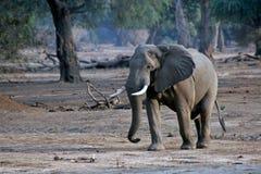 Het lopen van de olifant Stock Foto's